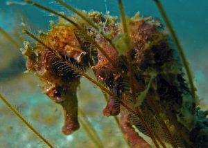 seahorsepic9