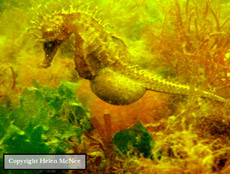 inflated bellied seahorse